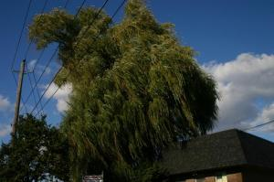 My favourite tree, Weeping Willow, Toronto.
